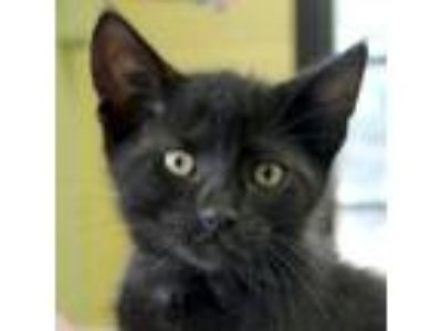 Adopt Kalvin a Extra-Toes Cat / Hemingway Polydactyl, Domestic Short Hair