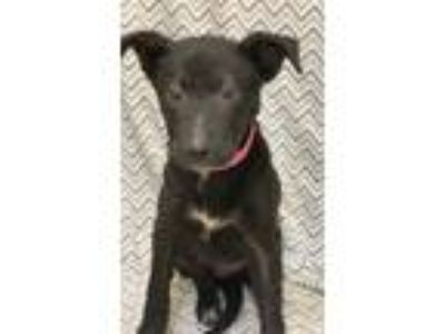 Adopt Sasha a Black - with White Labrador Retriever / Mixed dog in Waldorf