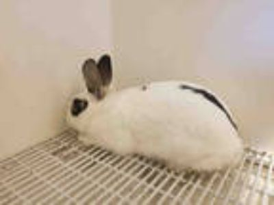 Adopt SNOOPY a White Other/Unknown / Mixed rabbit in Castaic, CA (25849029)