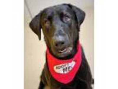 Adopt MOOSE a Labrador Retriever / Mixed dog in Little Rock, AR (25582030)