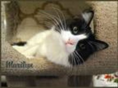 Adopt Marilyn a Black & White or Tuxedo Maine Coon (long coat) cat in Sherman