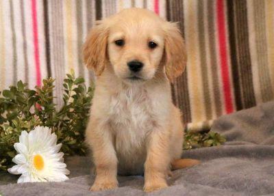 Golden Retriever PUPPY FOR SALE ADN-71285 - Golden Retriever Puppy for Sale