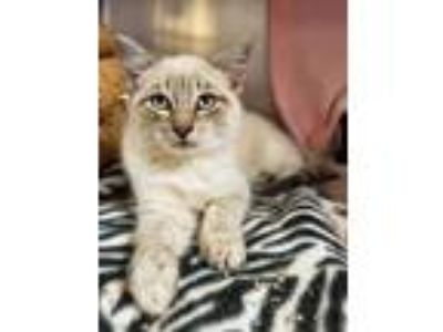 Adopt Tulip a Cream or Ivory Siamese / Domestic Shorthair / Mixed cat in