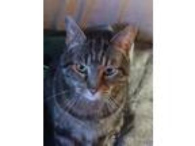 Adopt FESTER a Spotted Tabby/Leopard Spotted Domestic Shorthair (short coat) cat