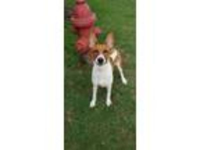 Adopt Piper a Brown/Chocolate Bull Terrier / Basenji / Mixed dog in Cedar Hill