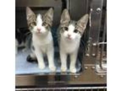 Adopt Boy and Girl Kittens a Tabby