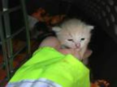 Adopt JACK JACK a Cream or Ivory Domestic Shorthair / Mixed (short coat) cat in