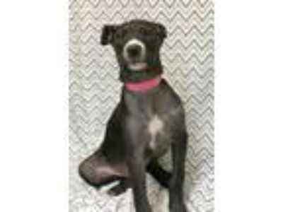 Adopt Lexi a Black - with White Labrador Retriever / Great Dane / Mixed dog in
