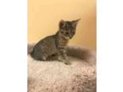 Adopt Vortex a Brown Tabby Domestic Shorthair (short coat) cat in Hiram