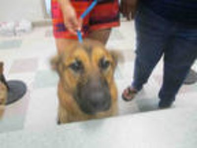 Adopt THUNDER a Brown/Chocolate - with Black German Shepherd Dog / Mixed dog in