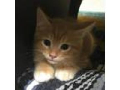 Adopt Dustin a Orange or Red Domestic Mediumhair cat in Lake Panasoffkee
