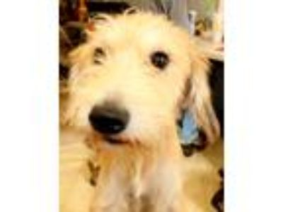 Adopt Aaron a Tan/Yellow/Fawn Schnauzer (Giant) / Labrador Retriever / Mixed dog