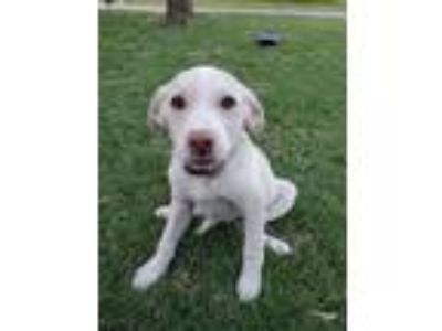 Adopt Jada a White - with Tan, Yellow or Fawn Boxer / Mixed dog in Broken Arrow