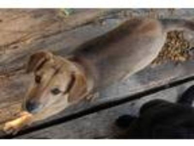 Adopt Rachel Newberry a Tan/Yellow/Fawn Labrador Retriever / Shepherd (Unknown