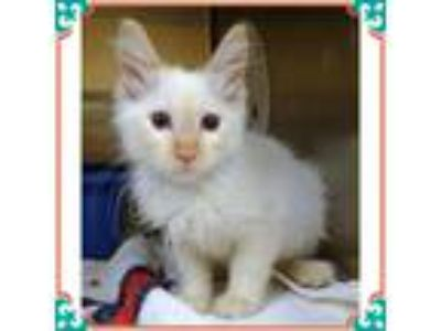 Adopt ELF avail 7/17 a Cream or Ivory (Mostly) Siamese (medium coat) cat in