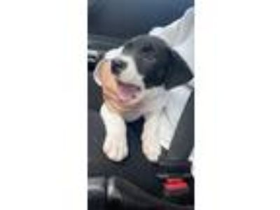 Adopt Rollie a White - with Black Mixed Breed (Medium) / Mixed dog in Phoenix