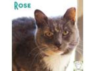 Adopt Rose a Domestic Shorthair / Mixed (short coat) cat in Washburn