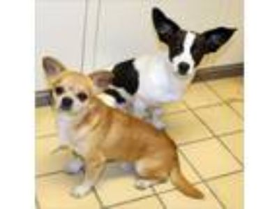 Adopt Lenny & Squiggy a Rat Terrier