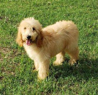 Poodle (Standard)-Goldendoodle Mix PUPPY FOR SALE ADN-92365 - standard goldendoodle