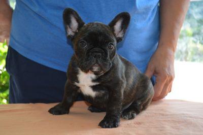 French Bulldog PUPPY FOR SALE ADN-88078 - Toula