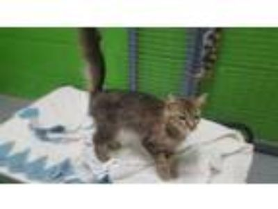 Adopt A105659 a Domestic Short Hair