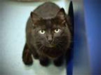 Adopt Manx a Domestic Short Hair