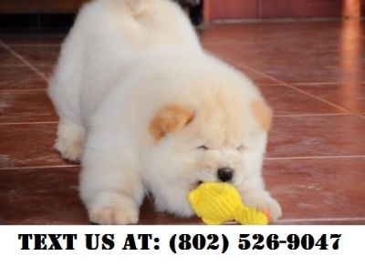 Chow Chow Puppies Classified Ads Clazorg