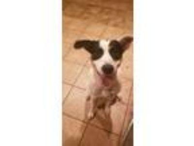 Adopt Captain Hook a Australian Cattle Dog / Blue Heeler, Border Collie