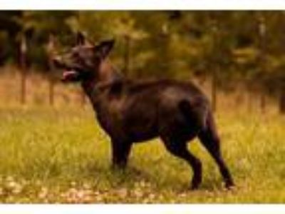 Adopt Hope a Labrador Retriever, Australian Cattle Dog / Blue Heeler