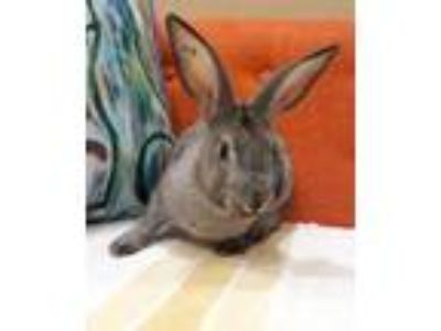 Adopt Ratatouille a Grey/Silver American / American / Mixed rabbit in Bend