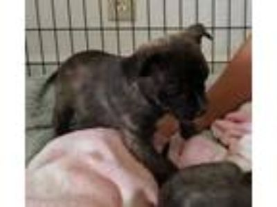 Adopt Gomez a Brindle Terrier (Unknown Type, Small) / Mixed dog in Santa Paula