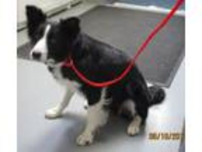 Adopt 41700669 a Border Collie