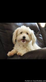 AKC Coton De Tulear puppies for sale