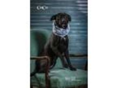 Adopt CoCo a Black Terrier (Unknown Type, Small) / Retriever (Unknown Type) /