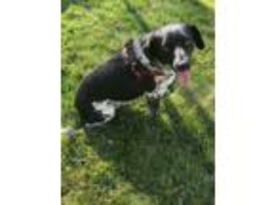 Adopt Louie a Black Labrador Retriever / Australian Shepherd / Mixed dog in