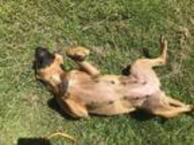 Adopt Lucy a Brown/Chocolate Boxer / Mixed dog in New Bern, NC (25925753)