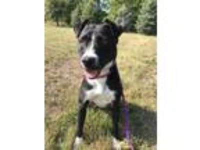 Adopt Minnie a Black American Staffordshire Terrier / Mixed dog in Maryville