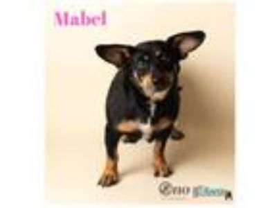 Adopt Mabel a Black Beagle / Corgi / Mixed dog in Fairhope, AL (25910120)