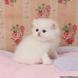 Blue Eyes Persian Kittens Ready For Good Homes Now