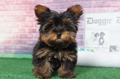Yorkshire Terrier PUPPY FOR SALE ADN-95897 - Ash Teeny Tiny Little Teacup Female Yorkie Puppy