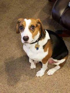 Bagle Hound PUPPY FOR SALE ADN-98770 - Beagle Basset Bulldog