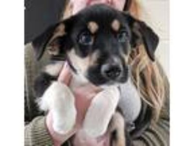 Adopt Mary Ann a Retriever (Unknown Type) / Mixed dog in Charlottesville