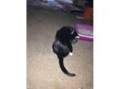 Adopt Charlie a Black & White or Tuxedo Domestic Mediumhair / Mixed cat in Santa