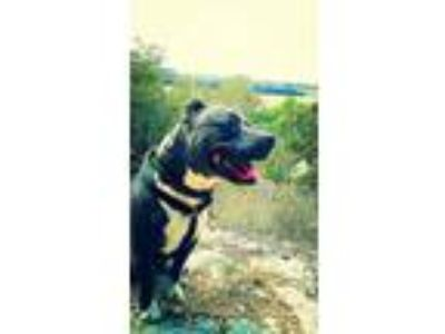 Adopt Kash a American Staffordshire Terrier, Pit Bull Terrier