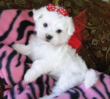 Teacup Maltese Puppies 617 313-3657.