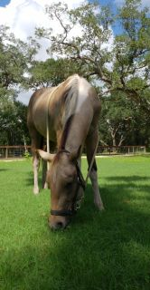 2.5 year old Mare