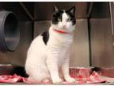 Adopt Eva a White Domestic Shorthair / Domestic Shorthair / Mixed cat in