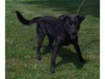 Adopt Scooter a Black Labrador Retriever, Border Collie