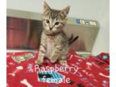 Adopt Raspberry a Gray or Blue (Mostly) Domestic Shorthair / Mixed cat in
