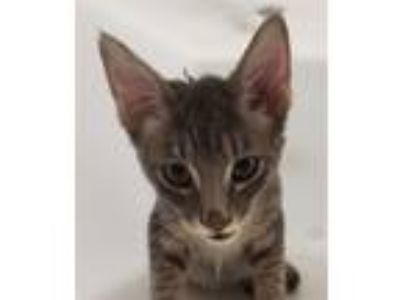 Adopt Thistle a Domestic Shorthair / Mixed (short coat) cat in Houston